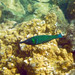 Small photo of Kapoho Tide Pools--Terminal Male Bird Wrasse