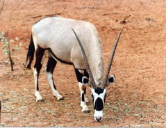 animal, antelope, gemsbok, mammal, horn, grazing, fauna, oryx, wildlife,
