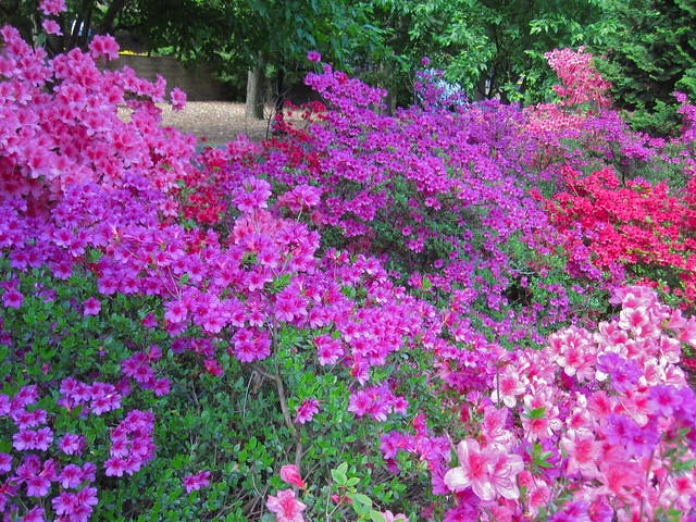 Incredible color combination on display in the Osborne Garden as the azaleas burst into bloom. Photo by Rebecca Bullene.