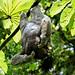 Three-toed Sloth (David Tipling)