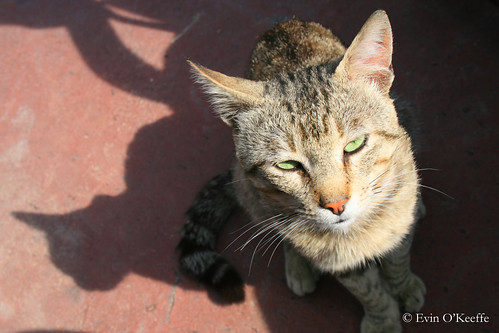 Green-eyed Cat on Ischia