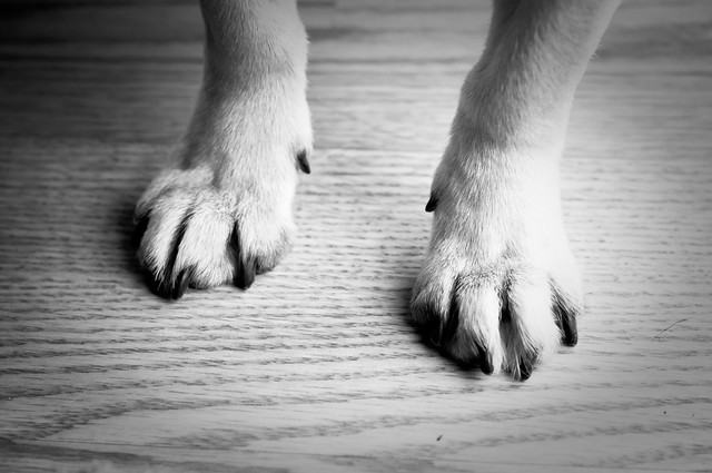 pug paws pug feet flickr photo sharing 9249