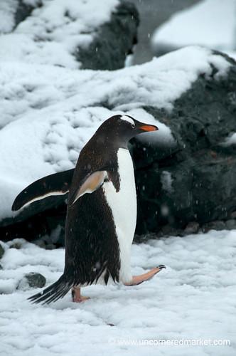 High Steps for a Gentoo Penguin - Antarctica by uncorneredmarket