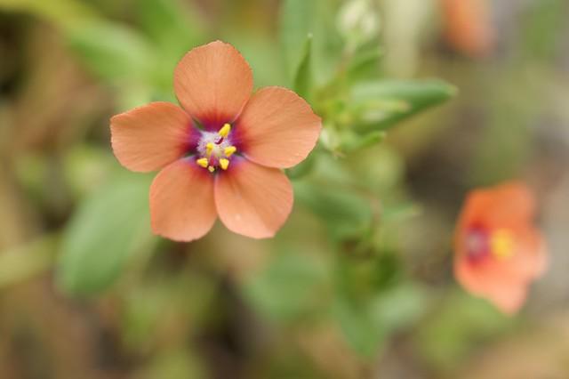 Scarlet Pimpernel Flower | Flickr - Photo Sharing!
