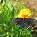 Butterflies love this newly planted Early Sunrise coreopsis in the kitchen garden