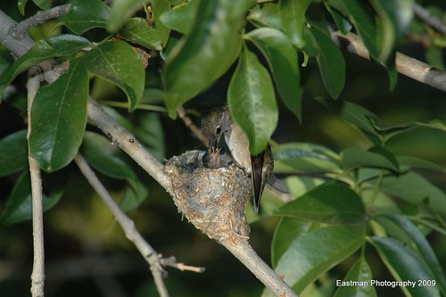 Black-chinned hummingbirds