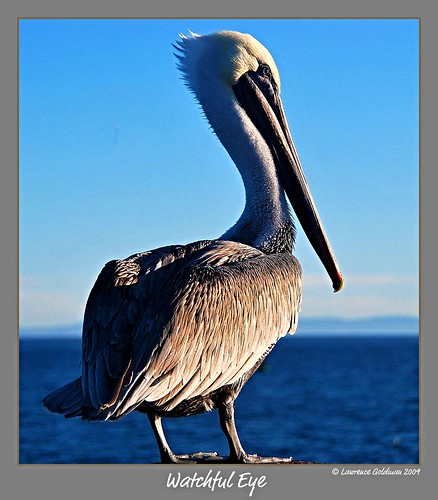 pelicans nature birds santabarbara southerncalifornia waterfowl stearnswharf 100comments nikond90 doublyniceshot
