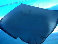 requiem shark(0.0), animal(1.0), manta ray(1.0), fish(1.0), marine biology(1.0), azure(1.0), skate(1.0), underwater(1.0), cartilaginous fish(1.0), blue(1.0),