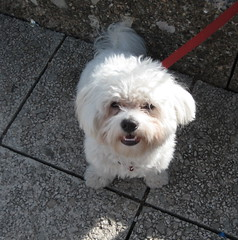 bichon frisã©, dog breed, animal, dog, cavachon, schnoodle, pet, coton de tulear, lã¶wchen, mammal, bolonka, poodle crossbreed, havanese, lhasa apso, morkie, bichon, dandie dinmont terrier, chinese imperial dog, maltese, bolognese,
