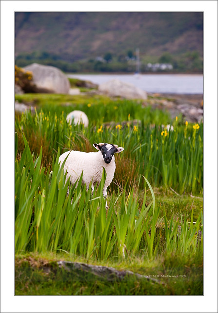 Sheep in Lochranza bay