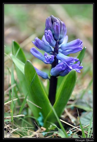 Jacinthe (Jacinthus orientalis)