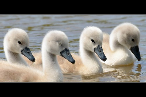 The sleepy cygnet .....