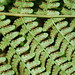 Marginal Wood Fern ( Dryopteris marginalis)