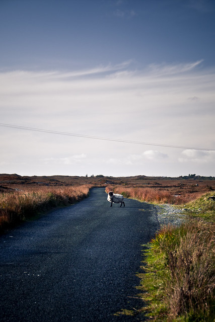 A sheep lost in Connemara