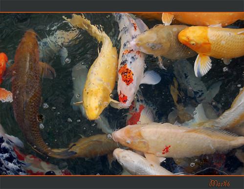 carpas de colores flickr photo sharing
