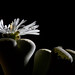 Lithops Succulent Shining Bright... Under Elinchrom Strobes...
