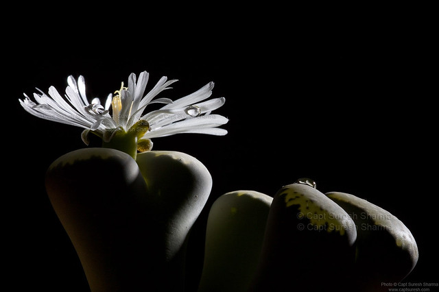 Lithops Succulent Shining Bright... Under Elinchrom Strobes...