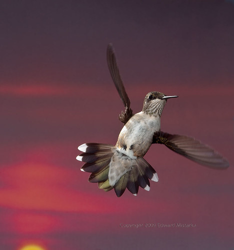 Ruby throated hummingbird hovering with paper thin wings