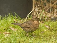 robin(0.0), sparrow(0.0), emberizidae(0.0), blackbird(0.0), wren(1.0), animal(1.0), ortolan bunting(1.0), fauna(1.0), finch(1.0), beak(1.0), bird(1.0), lark(1.0), wildlife(1.0),