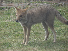czechoslovakian wolfdog(0.0), gray wolf(0.0), red wolf(0.0), grey fox(0.0), wolfdog(0.0), dhole(0.0), saarloos wolfdog(0.0), kit fox(0.0), animal(1.0), mammal(1.0), jackal(1.0), fauna(1.0), coyote(1.0), wildlife(1.0),