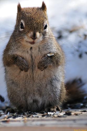 canada geotagged squirrels newbrunswick moncton mapletonpark allrightsreserved©drgnmastrpjg rawjpg geo:lat=4612855 geo:lon=64849995 ©pjgergelyallrightsreserved
