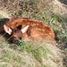 Small photo of Elk Calf