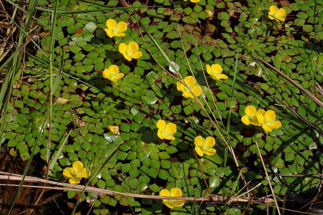 Ludwigia sedoides 091104-6773