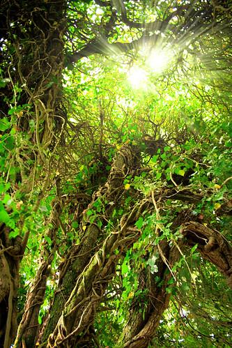 ireland brown sun tree green lens branch glare vine flare rays roscommon