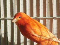 atlantic canary, animal, canary, wing, fauna, beak, bird,