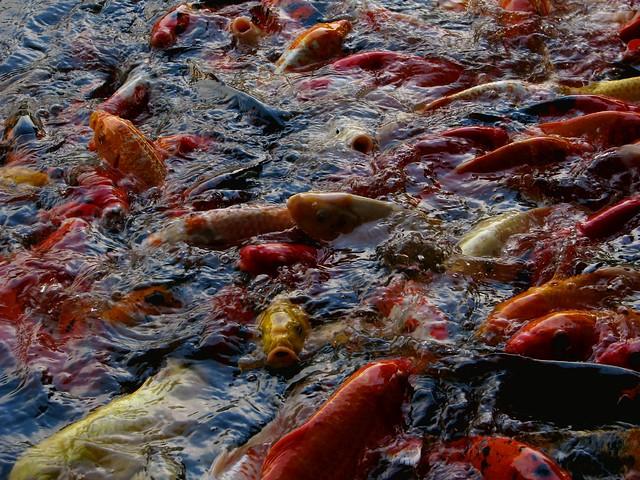 Koi fish at feeding time koi fish by 25kim flickr for Feeding koi fish
