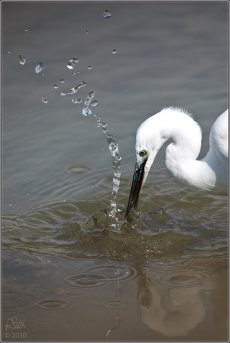 Egretta garzetta fishing