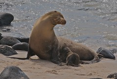 Galapagos Sea Lion Nursing