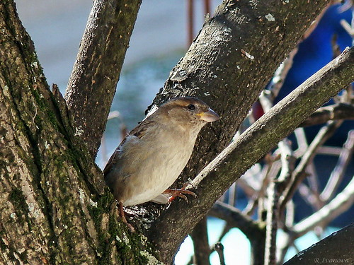 Hen sparrow