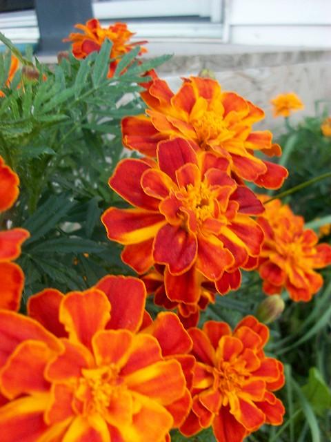 Tagetes patula - French marigold  dwarf marigoldFrench Marigold Dwarf