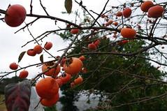 柿 Persimmon