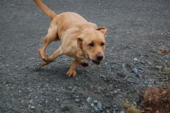 labrador retriever, animal, dog, pet, mammal, vizsla,