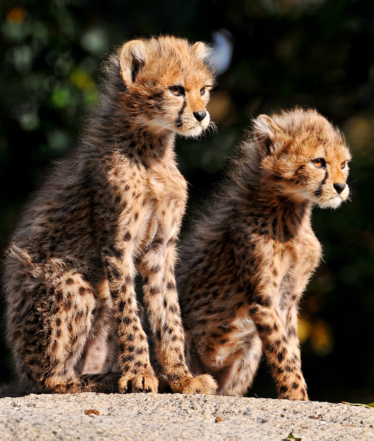 Proud sitting cheetah cubs