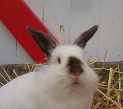 animal(1.0), rabbit(1.0), domestic rabbit(1.0), pet(1.0), fauna(1.0), angora rabbit(1.0), whiskers(1.0), rabits and hares(1.0),