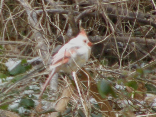 Leucistic or Piebald Cardinal