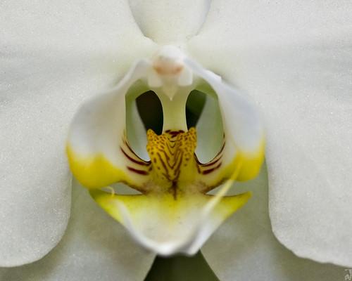 naturaleza white orchid flower macro blanco nature guatemala flor orquidea pal1970