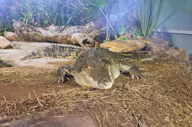 Sydney Aquarium: sleepy crocodile  Flickr - Photo Sharing!