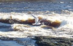 Curragower sea gull