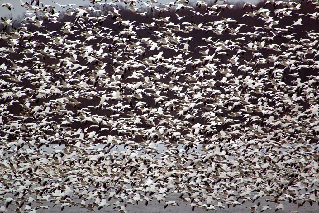 Middle Creek Snow Goose Migration