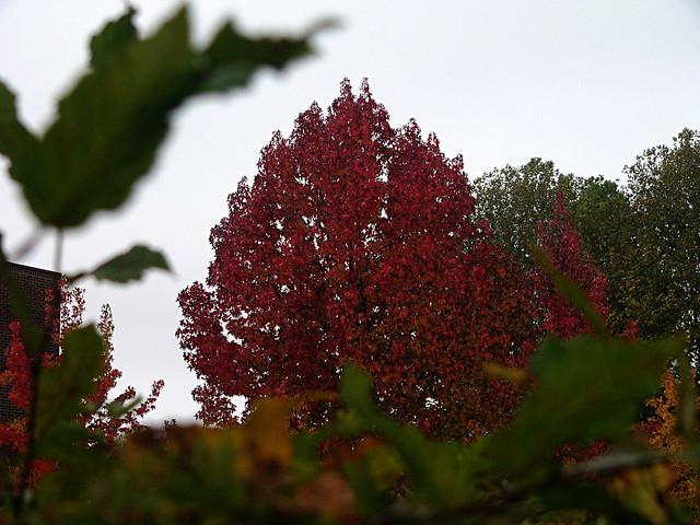 Arbre aux feuilles rouges  Arbre aux feuilles rouges du