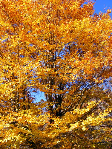 county autumn trees fall leaves yellow gold golden md maryland foliage midland allegany thepatch sportmansclub javcon117 frostphotos