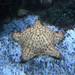 Étoile de mer pentagonale ©Cochonou