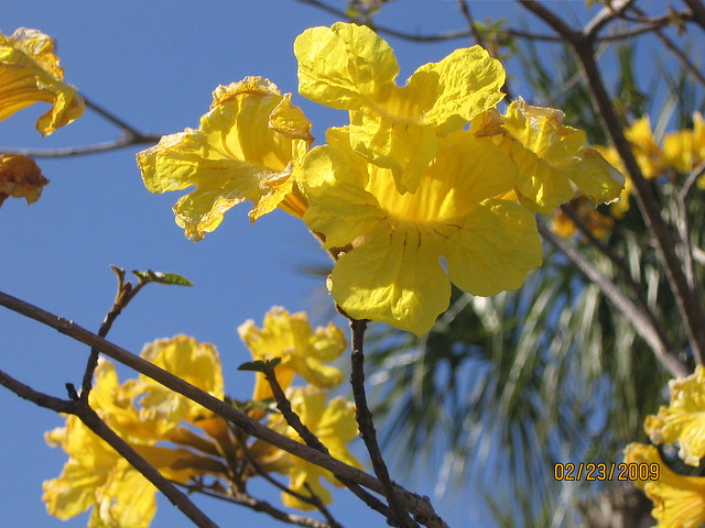 Yellow Flower Tree Flickr Photo Sharing