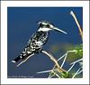Pied Kingfisher - Amboseli National Park - Wildlife in Kenya