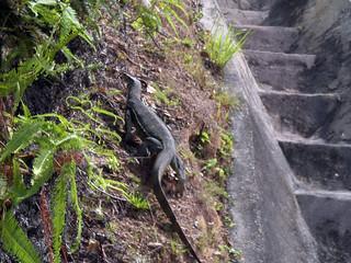 An oversized lizard