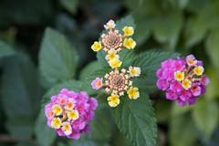 annual plant, flower, plant, macro photography, wildflower, flora, lantana camara, petal,